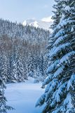 Pijnboomboom en bergbos in de winter Royalty-vrije Stock Fotografie