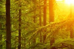 Pijnboomboom in gouden zonlicht Stock Afbeelding