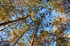 Pijnboomboom in het bos tegen mooie blauwe hemel Royalty-vrije Stock Foto's