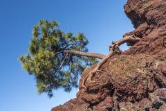 Pijnboomboom het groeien op een berghelling Stock Foto's