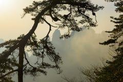 Pijnboomboom in Huangshan-bergen Royalty-vrije Stock Afbeelding
