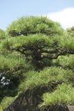 Pijnboomboom in Japan Royalty-vrije Stock Foto