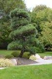 Pijnboomboom in Japanse stijl in Botanische Tuin, Tsjechische Republiek, Europa wordt gecultiveerd dat Stock Fotografie