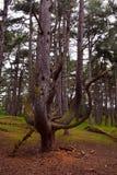 Pijnboomboom met gebogen takken in het bos, Norfolk, het Verenigd Koninkrijk Royalty-vrije Stock Foto's