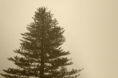 Pijnboomboom met mist in sepia toon Stock Foto's