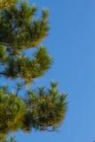 Pijnboomboom op blauwe hemel Stock Afbeelding