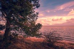 Pijnboomboom op de kust Stock Afbeeldingen