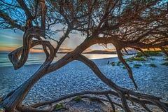 Pijnboomboom op het zand bij zonsondergang stock foto