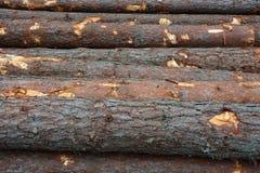 Pijnboomboomstammen Stock Fotografie