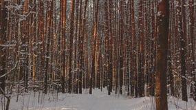 Pijnboombos in de winter in Rusland stock foto