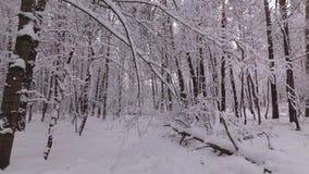 Pijnboombos in de Winter, Sneeuwdalingen van een Tak stock videobeelden