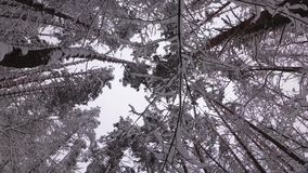Pijnboombos in de Winter, Takken met Sneeuw worden behandeld die stock footage