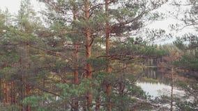 Pijnboombos dichtbij het meer, somber de herfstlandschap stock footage