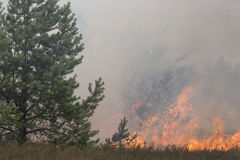 Pijnboombos en dopheide in bosbrand Stock Foto's