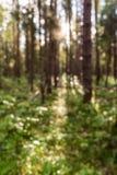 Pijnboombos in helder zonlicht De zomerachtergrond, onduidelijk beeld, bokeh Stock Foto's