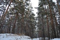 Pijnboombos, Krasnoyarsk-gebied, Rusland royalty-vrije stock foto