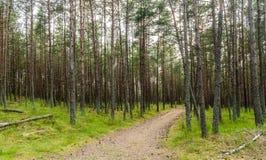 Pijnboombos met groen gras en weg die in de afstand leiden Stock Fotografie