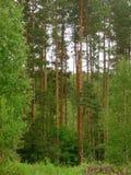 Pijnboombos met hoge bomen Stock Fotografie
