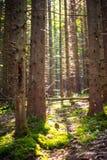 Pijnboombos met mooi licht Weergeven met pijnboombomen over natur royalty-vrije stock foto's