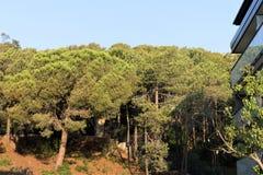 Pijnboombos op de berghelling in een kleine stad in Catalonië stock fotografie
