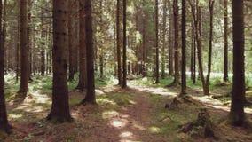 Pijnboombos, struikgewas hoge boomboomstammen, algemeen plan stock videobeelden