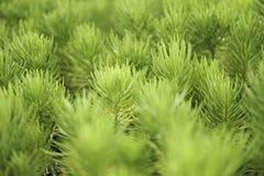 Pijnboomcactus in de tuin Royalty-vrije Stock Afbeeldingen