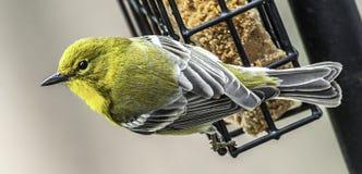 Pijnboomgrasmus op Voeder, Noord-Carolina stock foto