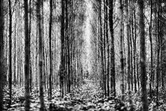 Pijnboomhout Stock Foto