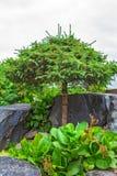Pijnboomhout met gevormde versieringskroon onder natuursteen Stock Fotografie