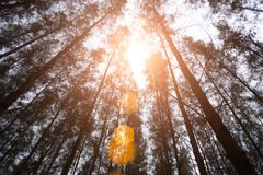 Pijnboomhout met zon lichte gloed Groen bos onder meningshoek royalty-vrije stock foto's