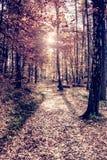Pijnboomhout met zon lichte gloed Oranje bos stock afbeelding