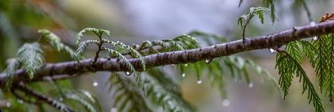 Pijnboomnaalden in de Regen stock foto's