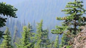 Pijnboomnaalden en bomen aan de kant van de olympische bergketen in Washington stock video