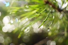 Pijnboomnaalden met dalingen en hoogtepunten na regen in zonlicht stock foto's