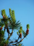 Pijnboomnaalden tegen blauwe hemel met stuifmeelzaden Royalty-vrije Stock Foto's