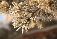 Pijnboomnaalden in vorst in zonlichtstralen Stock Fotografie
