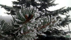 Pijnboomtak in de winter Royalty-vrije Stock Afbeeldingen