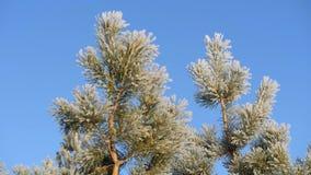 Pijnboomtak die met sneeuw tegen de blauwe hemel wordt behandeld stock video