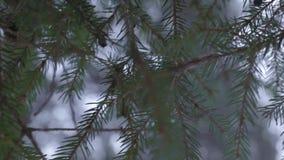 Pijnboomtak in het hout met sneeuw stock videobeelden