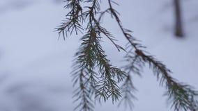 Pijnboomtak in het hout met sneeuw stock footage