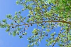Pijnboomtak met kegels op een achtergrond van blauwe hemel Stock Foto's