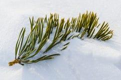 Pijnboomtak met sneeuw wordt behandeld die Stock Foto