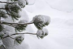 Pijnboomtak na sneeuwval Stock Afbeeldingen