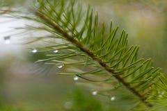 pijnboomtak in november-de herfstbos als abstract kunstwerk met B Stock Afbeeldingen