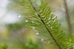pijnboomtak in november-de herfstbos als abstract kunstwerk met B Royalty-vrije Stock Afbeelding