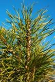 Pijnboomtakje op blauwe hemelachtergrond outdoors royalty-vrije stock afbeeldingen