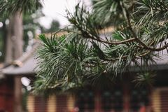 Pijnboomtakken buiten een Japanse Tempel stock afbeeldingen