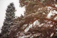 Pijnboomtakken in een magisch de winterbos stock foto's