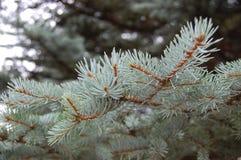 Pijnboomtakken met groene naalden Stock Foto