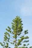Pijnboomtakken op blauwe hemel Stock Afbeeldingen